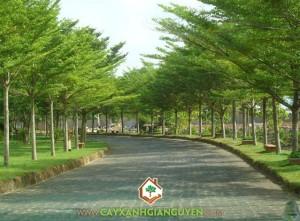 Cây xanh Gia Nguyễn, cây công trình, Bàng Đài Loan, đặc điểm sinh thái, Bàng