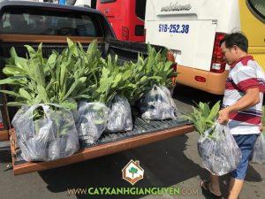 Vườn ươm Cây Xanh Gia Nguyễn, Cây chuông vàng, Cây giống, Chăm sóc vườn cây chuông vàng, Mua cây giống tại Vườn ươm của Cây Xanh Gia Nguyễn